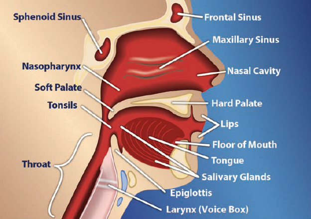 image of head and neck showing location of sphenoid sinus, nasopharynx, soft palate, tonsils, throat, frontal sinus, maxillary sinus, nasal cavity, hard palate, lips, floor of mouth, tongue, salivary glands, epiglottis, and larynx (voice box)