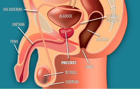Image showing where the prostate is located in the body.